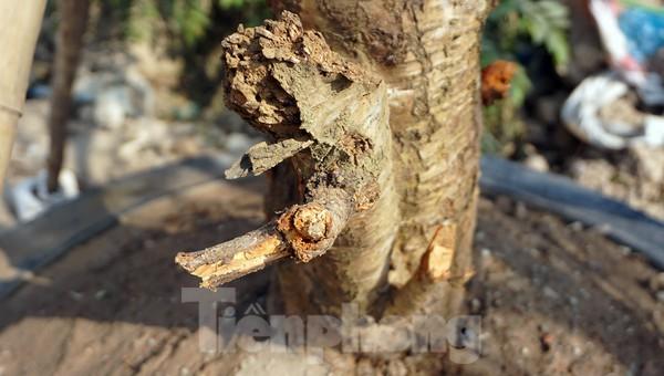 Dân buôn giới thiệu đào cổ thụ trồng ở Sơn La giá hơn 30 triệu đồng ảnh 11