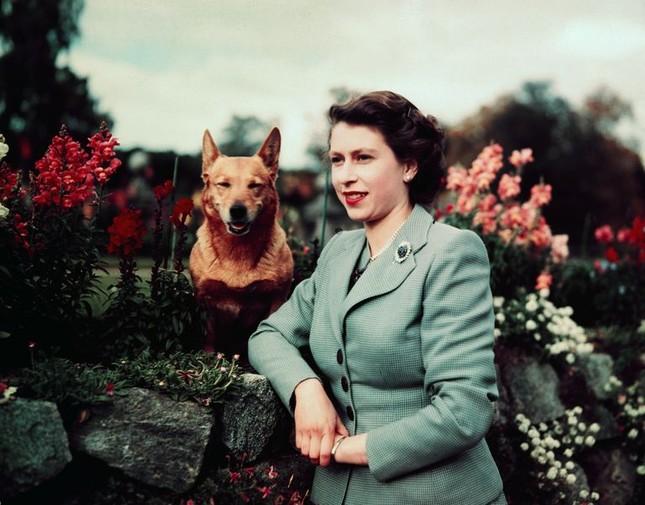 Bầy Corgi của Nữ hoàng Elizabeth thì nổi tiếng quá rồi, nhưng có những điều bạn chưa biết ảnh 3