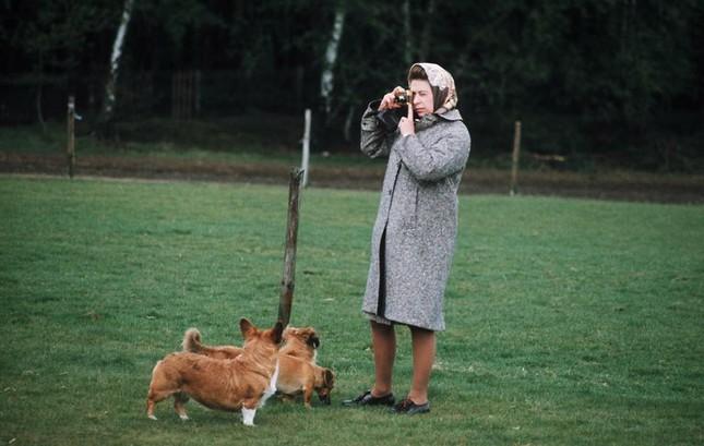 Bầy Corgi của Nữ hoàng Elizabeth thì nổi tiếng quá rồi, nhưng có những điều bạn chưa biết ảnh 4