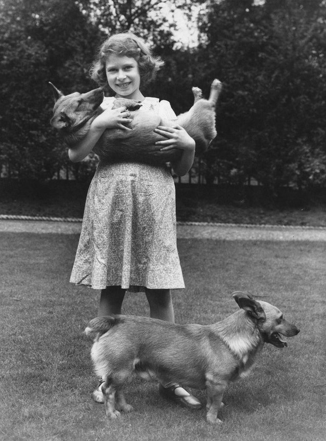 Bầy Corgi của Nữ hoàng Elizabeth thì nổi tiếng quá rồi, nhưng có những điều bạn chưa biết ảnh 1