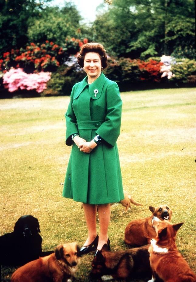 Bầy Corgi của Nữ hoàng Elizabeth thì nổi tiếng quá rồi, nhưng có những điều bạn chưa biết ảnh 7
