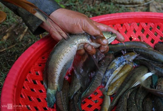 Bắt cá khi ruộng đồng cạn nước ảnh 10