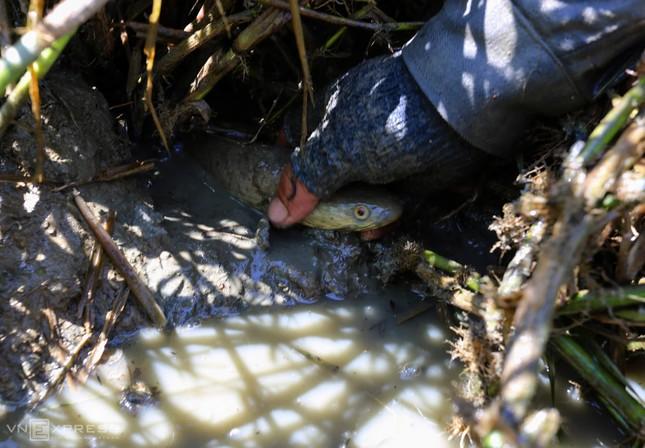 Bắt cá khi ruộng đồng cạn nước ảnh 6