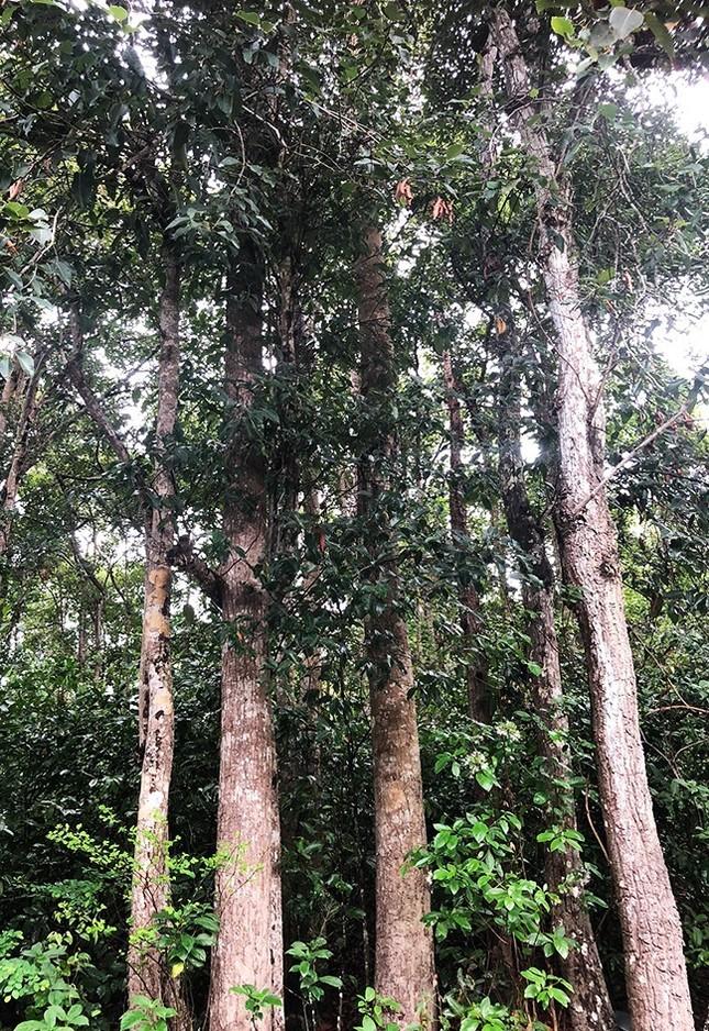Bà Rịa - Vũng Tàu giữ lại rừng dầu Côn Đảo ảnh 1