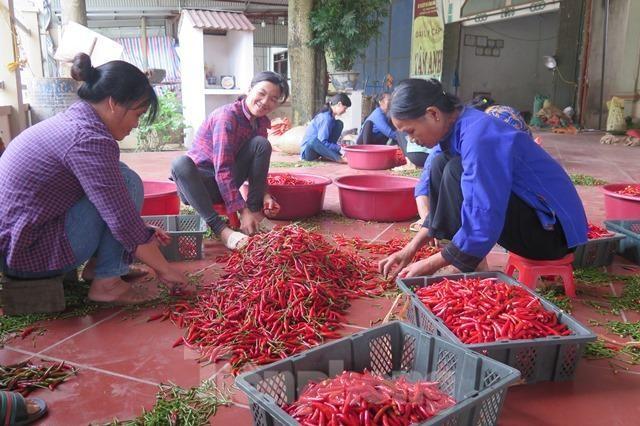 Bác thông tin Trung Quốc cấm nhập khẩu ớt từ Việt Nam ảnh 1