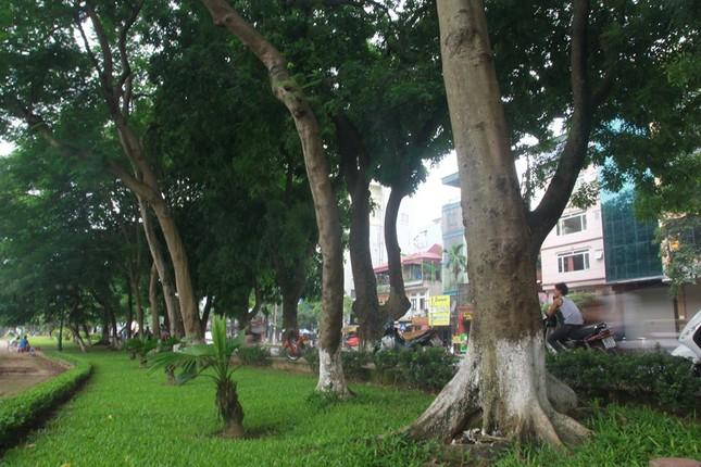 Hình ảnh Chặt hàng cổ thụ đẹp nhất Hà Nội: Xót xa như rụng bàn tay số 1