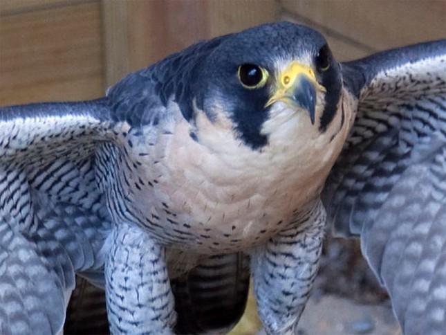 1001 thắc mắc: Vì sao gọi chim cắt là 'Chiến đấu cơ có lông'? ảnh 1