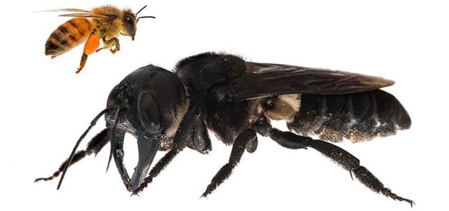 1001 thắc mắc: Ong vò vẽ kinh khủng ra sao, làm thế nào để nhận biết chúng? ảnh 3