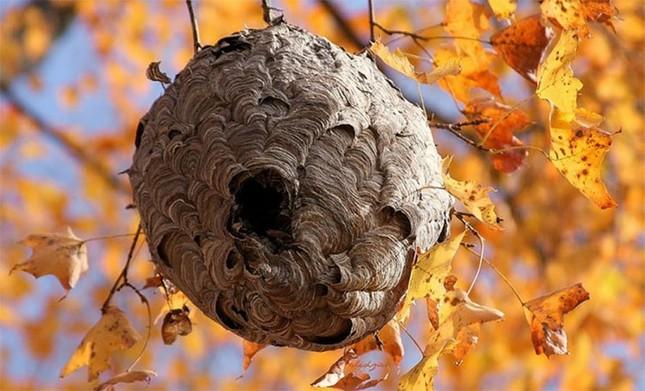 1001 thắc mắc: Ong vò vẽ kinh khủng ra sao, làm thế nào để nhận biết chúng? ảnh 1