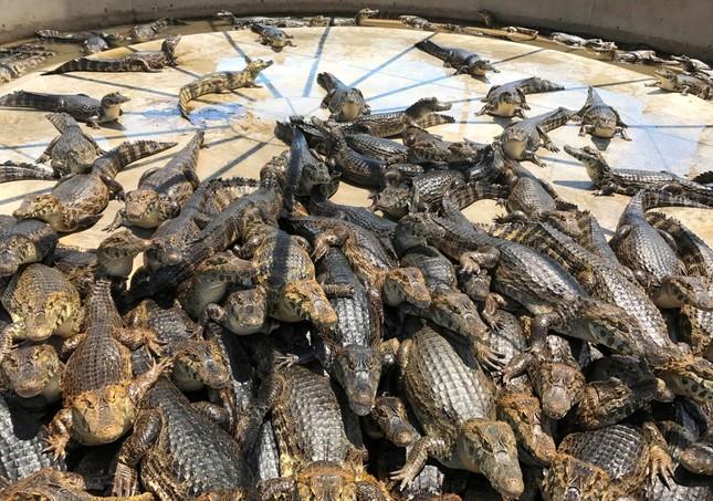 1001 thắc mắc: Vì sao cá sấu nuốt mồi dưới nước mà không bị sặc? ảnh 2