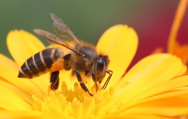 1001 thắc mắc: Ong có ngủ không, kinh khủng thế nào nếu ong tuyệt chủng? ảnh 1