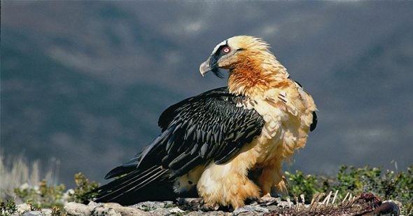 1001 thắc mắc: Không phải chúa tể đại bàng, loài chim nào bay cao nhất thế giới? ảnh 3
