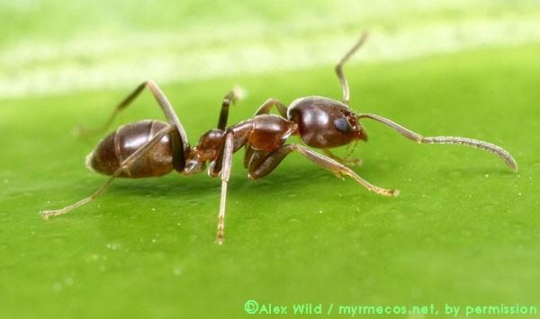 Kiến điên Tawny sống ở đâu, loài kiến nào hung tợn nhất hành tinh? ảnh 3