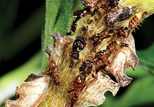 Kiến điên Tawny sống ở đâu, loài kiến nào hung tợn nhất hành tinh? ảnh 1