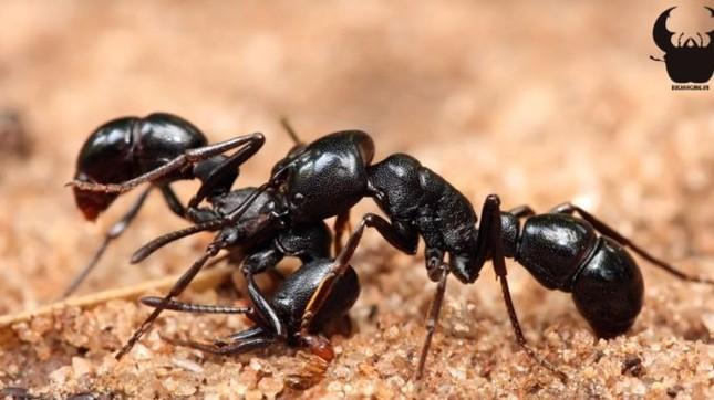 Kiến điên Tawny sống ở đâu, loài kiến nào hung tợn nhất hành tinh? ảnh 2