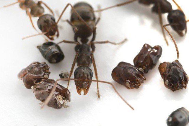 1001 thắc mắc: Loài kiến nào chạy nhanh nhất thế giới? ảnh 2