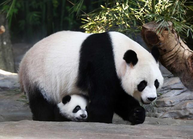 1001 thắc mắc: Vì sao gấu trúc khổng lồ nhưng sinh con lại bé xíu? ảnh 1