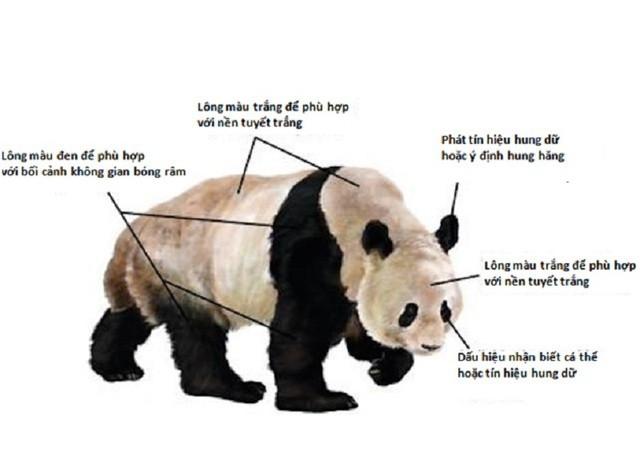 1001 thắc mắc: Vì sao gấu trúc khổng lồ nhưng sinh con lại bé xíu? ảnh 3