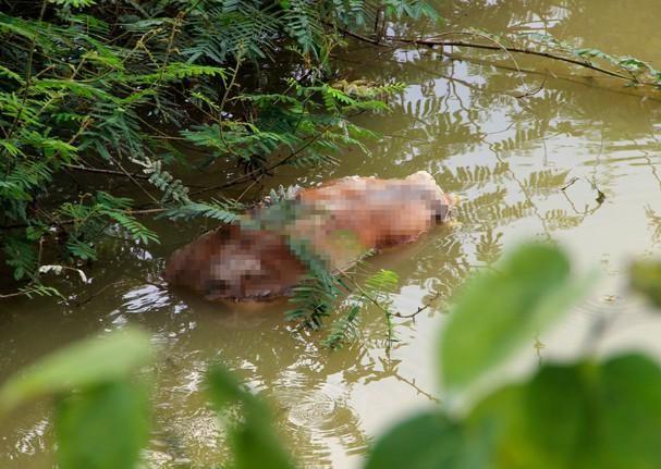 Lén lút vứt xác lợn xuống sông giữa tâm dịch tả phức tạp ảnh 1