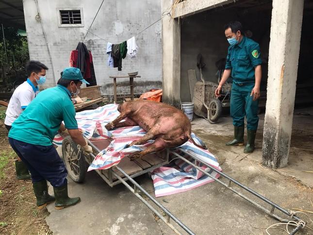Một huyện của Nghệ An tiêu hủy gần 150 tấn lợn bị dịch tả Châu Phi ảnh 1