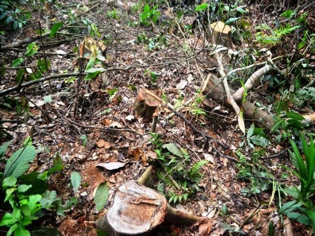Truy tìm kẻ gian chặt phá 2.500m2 diện tích rừng của người dân ảnh 3