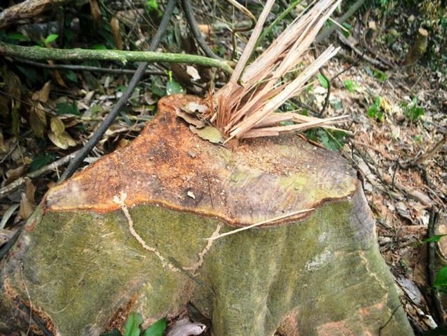 Truy tìm kẻ gian chặt phá 2.500m2 diện tích rừng của người dân ảnh 1