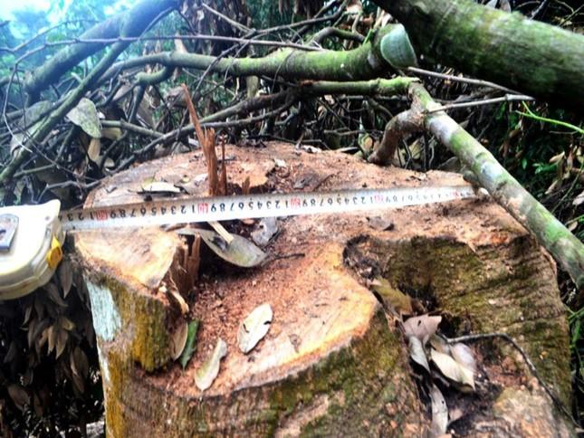 Truy tìm kẻ gian chặt phá 2.500m2 diện tích rừng của người dân ảnh 2