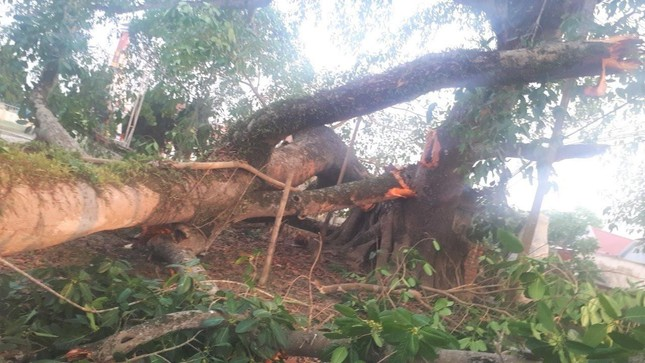 Nhìn gần cây đa hơn 300 tuổi gãy đổ làm bị thương bốn học sinh ở Nghệ An ảnh 4