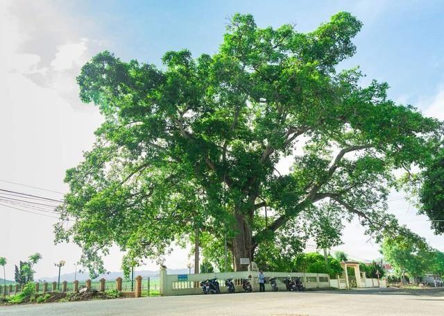 Nhìn gần cây đa hơn 300 tuổi gãy đổ làm bị thương bốn học sinh ở Nghệ An ảnh 1