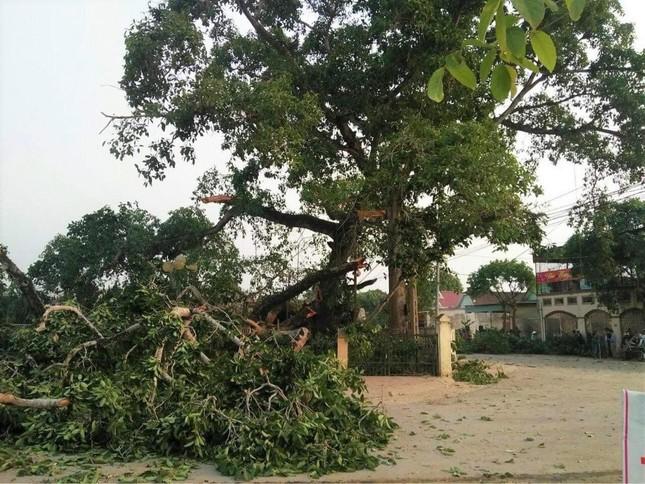 Nhìn gần cây đa hơn 300 tuổi gãy đổ làm bị thương bốn học sinh ở Nghệ An ảnh 2