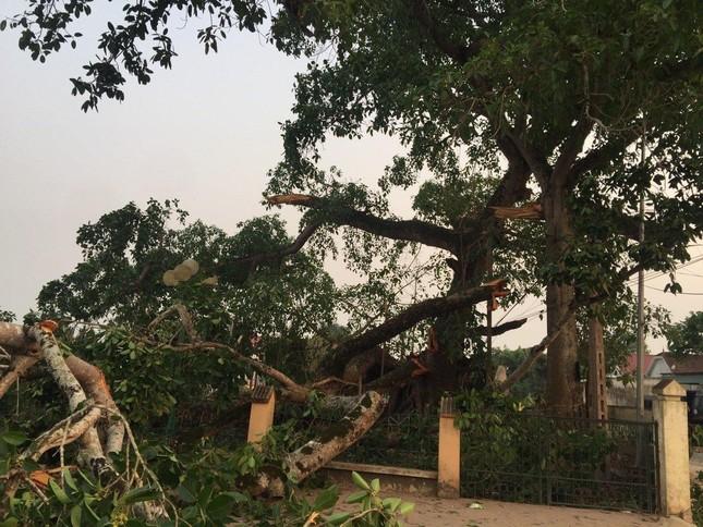Nhìn gần cây đa hơn 300 tuổi gãy đổ làm bị thương bốn học sinh ở Nghệ An ảnh 5