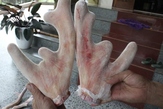 Nghề nuôi hươu sao chỉ cắt sừng non, mỗi cặp bằng cả tấn thóc - 15