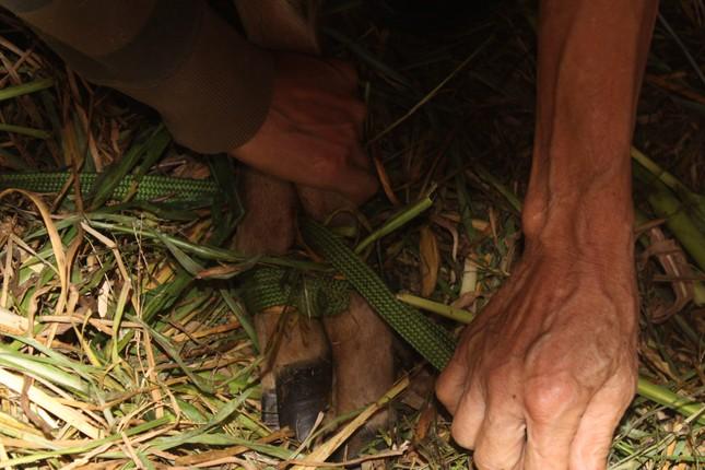 Nghề nuôi hươu sao chỉ cắt sừng non, mỗi cặp bằng cả tấn thóc - 10