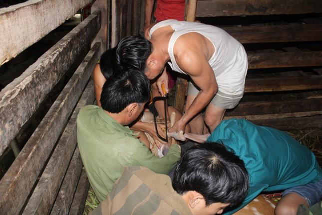 Nghề nuôi hươu sao chỉ cắt sừng non, mỗi cặp bằng cả tấn thóc - 9