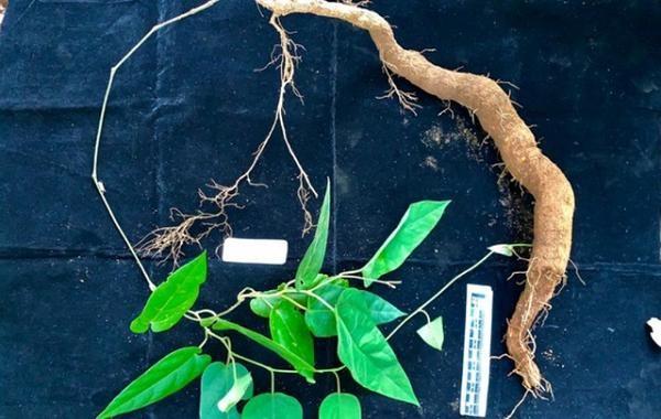 Phát hiện loài thực vật kỳ dị tại Vườn Quốc gia Vũ Quang ảnh 3