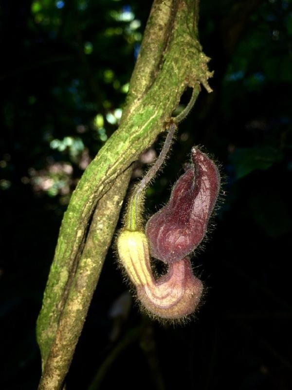 Phát hiện loài thực vật kỳ dị tại Vườn Quốc gia Vũ Quang ảnh 2