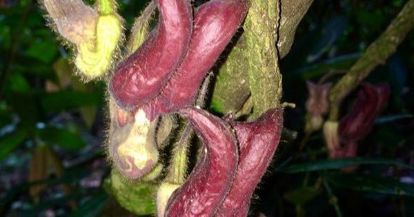 Phát hiện loài thực vật kỳ dị tại Vườn Quốc gia Vũ Quang ảnh 1