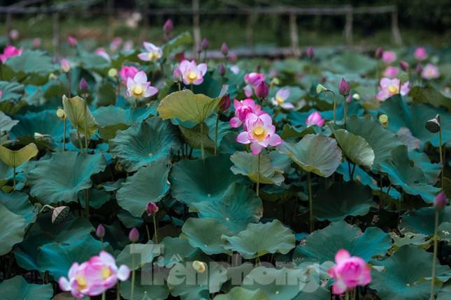 Tháng Năm về, ngắm sắc hương hoa sen bình dị ở quê Bác ảnh 5