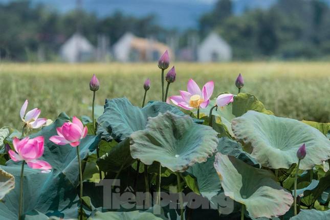 Tháng Năm về, ngắm sắc hương hoa sen bình dị ở quê Bác ảnh 3