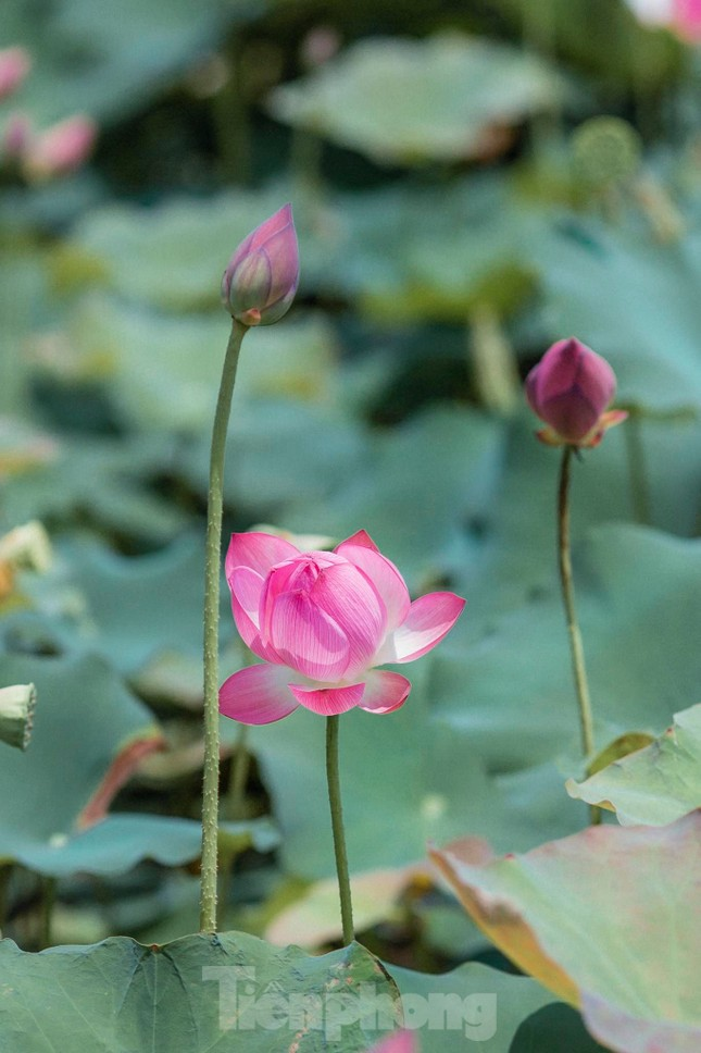 Tháng Năm về, ngắm sắc hương hoa sen bình dị ở quê Bác ảnh 4