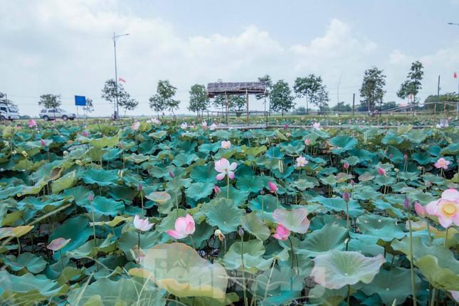 Tháng Năm về, ngắm sắc hương hoa sen bình dị ở quê Bác ảnh 7