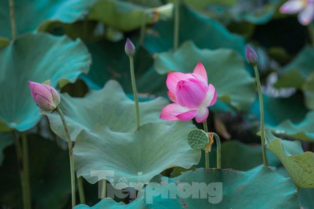 Tháng Năm về, ngắm sắc hương hoa sen bình dị ở quê Bác ảnh 8
