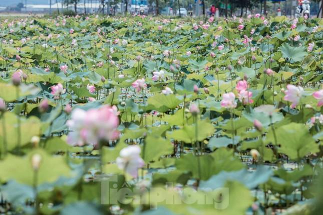 Tháng Năm về, ngắm sắc hương hoa sen bình dị ở quê Bác ảnh 1