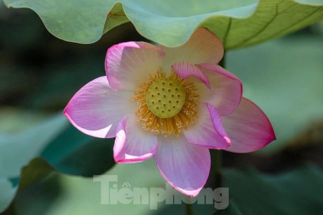 Tháng Năm về, ngắm sắc hương hoa sen bình dị ở quê Bác ảnh 2