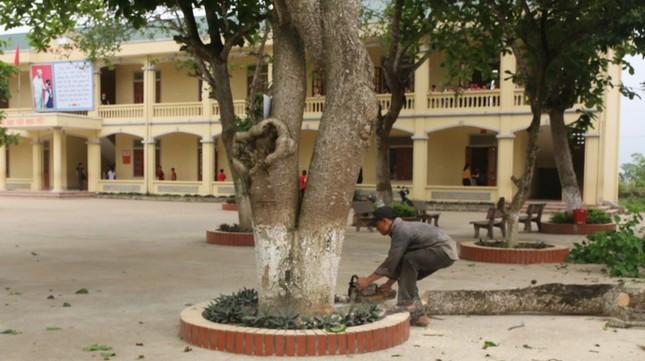 Đồng loạt loại bỏ cây ngô đồng trong trường học ảnh 1