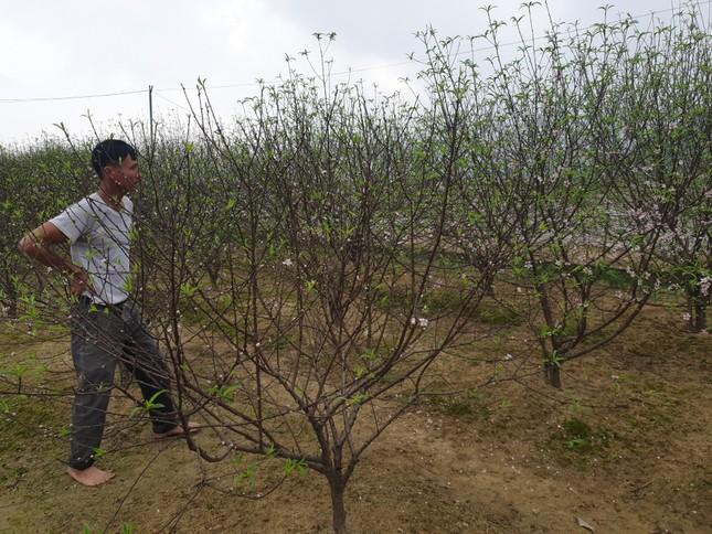 Đào nở rộ vì nắng, người trồng thấp thỏm lo 'mất Tết' ảnh 1