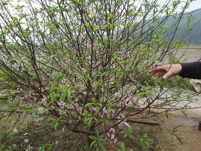 Đào nở rộ vì nắng, người trồng thấp thỏm lo 'mất Tết' ảnh 2