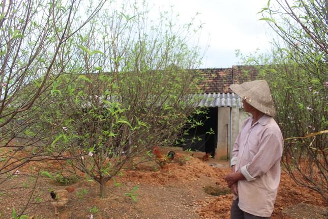 Đào nở rộ vì nắng, người trồng thấp thỏm lo 'mất Tết' ảnh 3