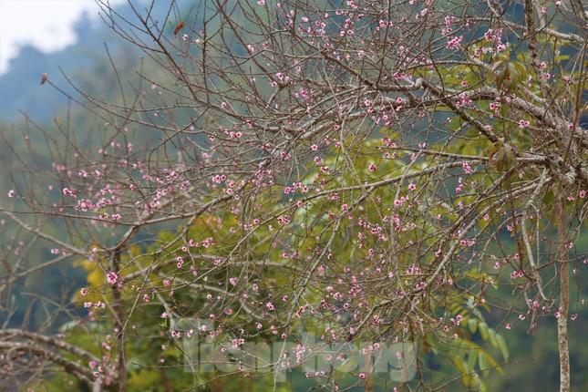 Ngắm hoa đào khoe sắc trên 'cổng trời' mù sương ảnh 1