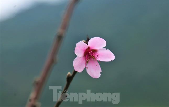 Ngắm hoa đào khoe sắc trên 'cổng trời' mù sương ảnh 3
